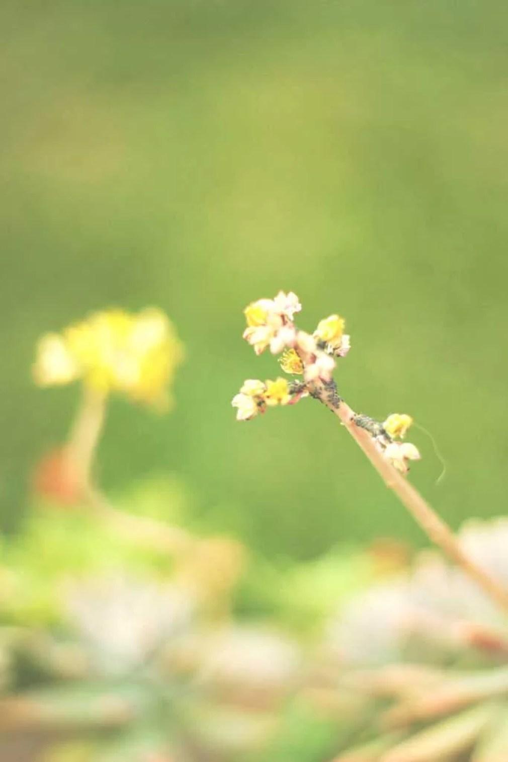 Flores esmaecidas