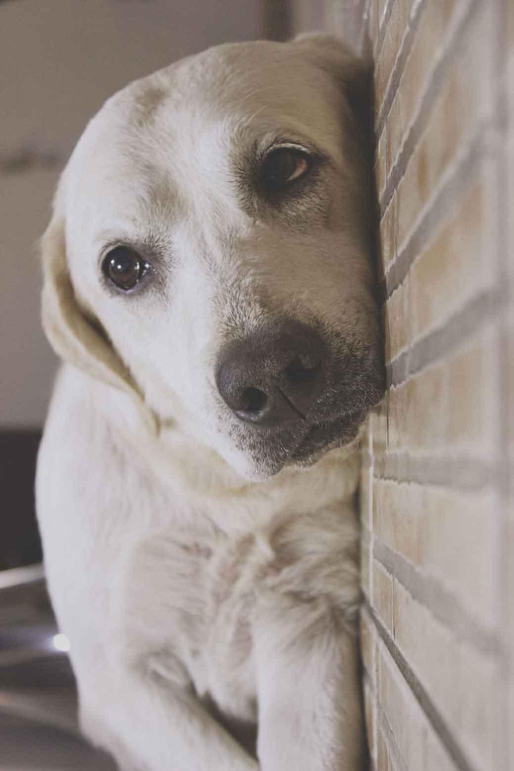 Um labrador aparentemente calmo