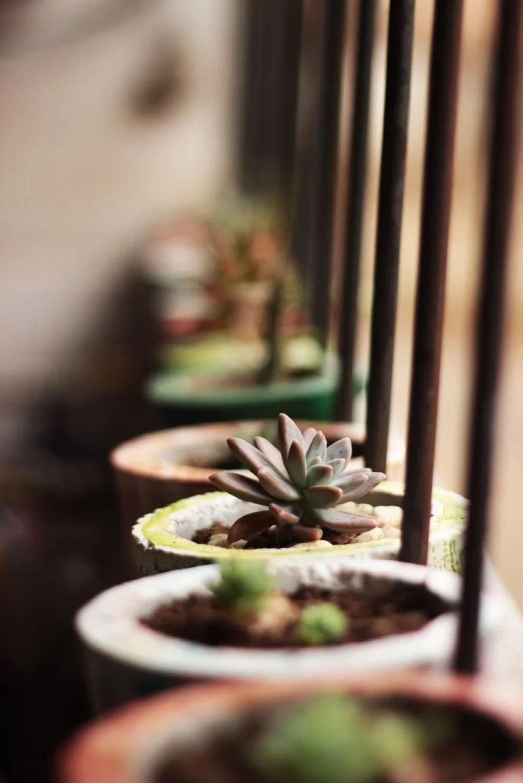 Muda de suculentas para o jardim