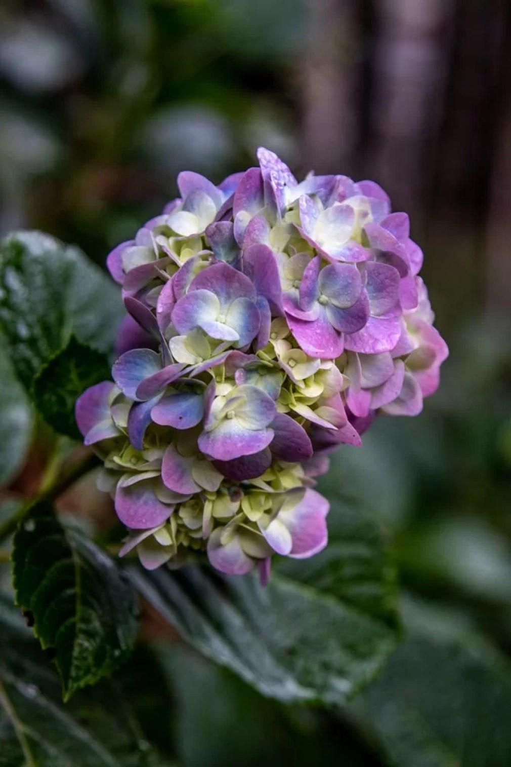 Flores do campo Hortência azul