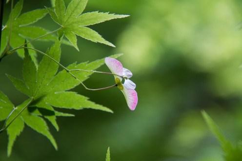 Blühender japanischer Ahorn.
