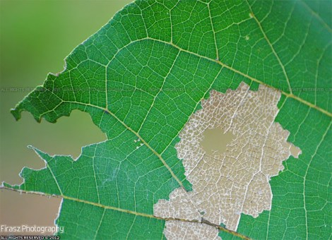 Skeleton of an eaten leaf