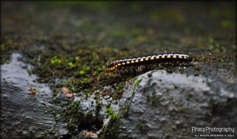 Travels of the millipede