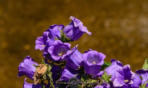 Kashmir Bouquet7-Canterbury Bells