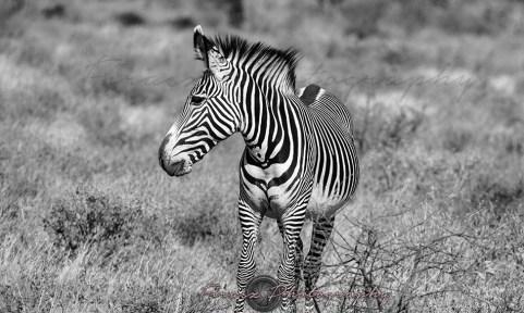 Imperial Zebra3