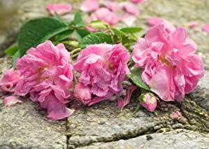 organic, rose, alteya, bulgaria