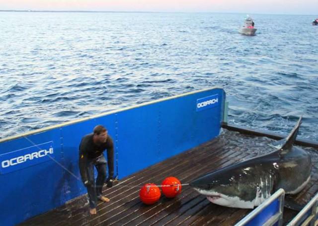 Secret-of-Great-White-Sharks-revealed-2-640x455