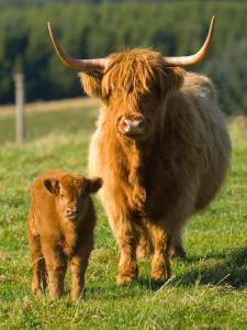 1200-20106837-highland-cow-and-calf