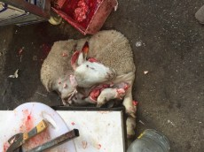 This is the skin and head. The rest of the sheep is hanging. Butchered minutes ago. This fellow walked to the market.