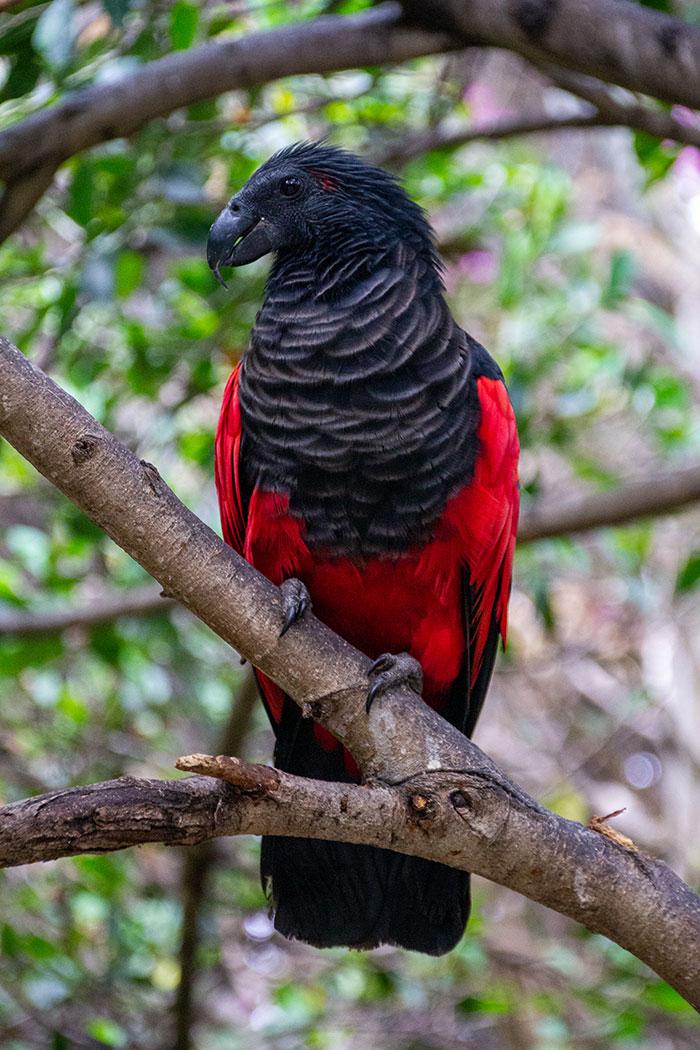 Pesquets-dracula-parrots-birds-new-guinea-4-5e5539347826e__700