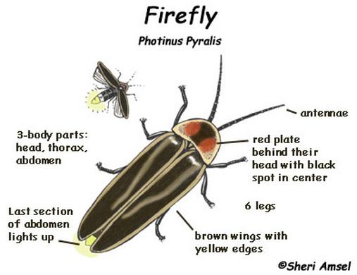 Firefly Anatomy  Entomology 300 Final Project