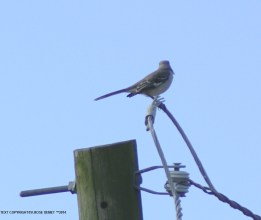 Mocking Bird, sky, southwest Louisiana;