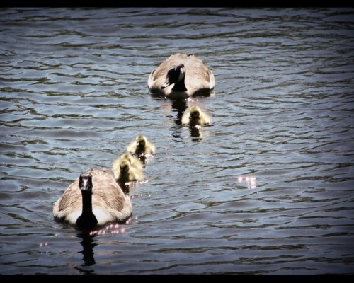 As The Ducks Paddle Along -A Terzanelle