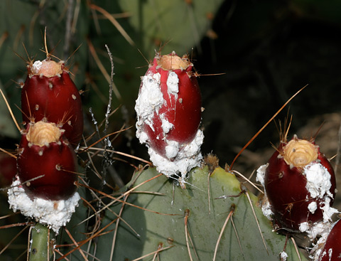 Cochineal Dactylopius Coccus The Firefly Forest