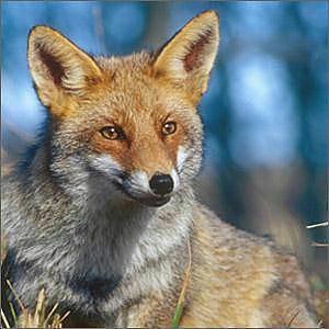 Siena caccia alla volpe in tana no dei senatori del Pd