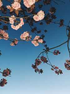 delicate cherry blossoms on twigs under blue sky