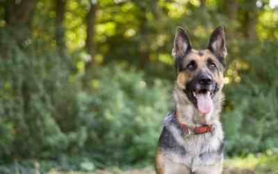 Glucosamin og chondroitin – genvejen til at give din aldrende hund et mere aktivt liv