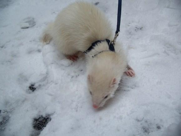 Puck_snow_leopard