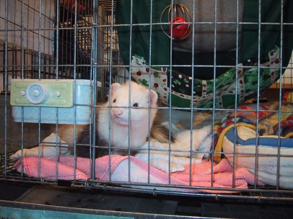 Shelter.ferret