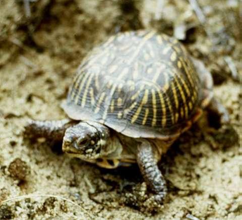 Ornate_box_turtle_VK.low
