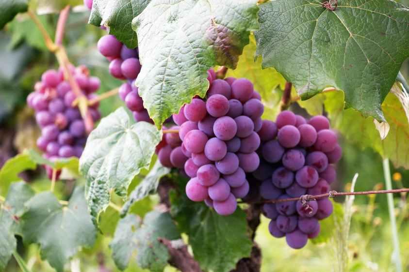 top fruits  - Grape