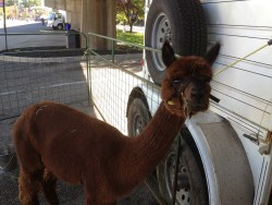 An alpaca at the Farmer's Market here in town