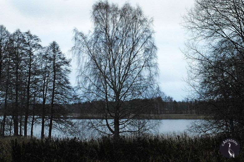 Birch on the shore