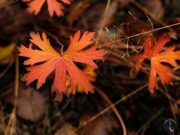 orange kurjenpolvi