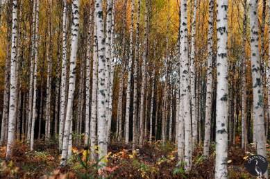 trees_yellowleaves_2651