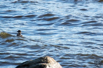 goldeneye_fledgling_0107