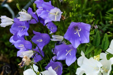 tervap_blue_and_white_bells_0127p