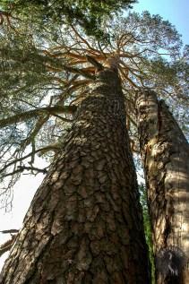 Pine trees in Haikola.
