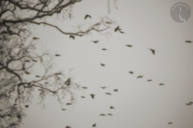 crows_0078muokp