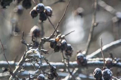 winterapple_0034p