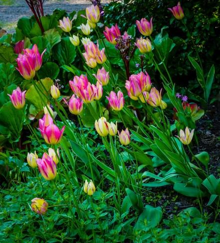 vibrant_tulipsP1000562p