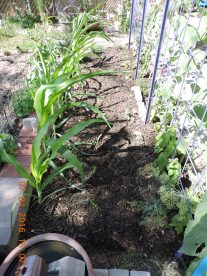 A second row of corn added and then more mulch.