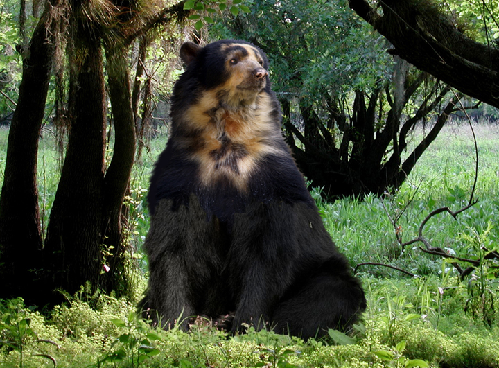 New Spectacled Bear