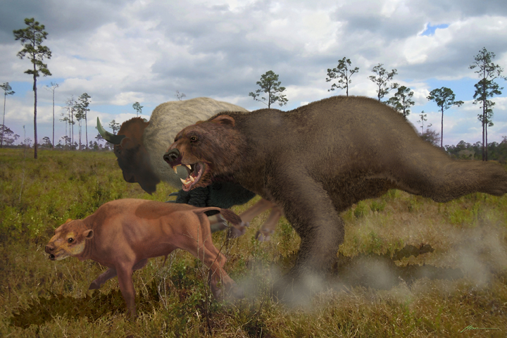 Arctodus simus The Short-faced Bear (3 millionÑ11,000) years ago was the biggest bear that ever lived Standing with all fours on the ground it was about 6 feet tall but when it rose up on its hind legs it was over 12 feet tall! It prowled the scrub for nuts, berries, and prey. It is hunting a bison antiquus calf.