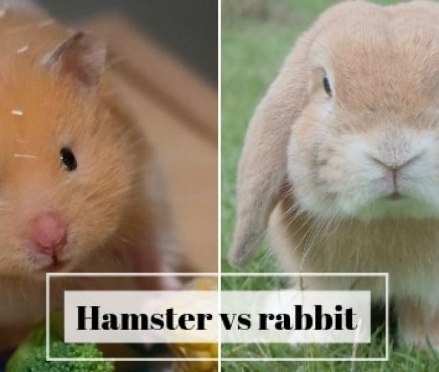 Hamster Vs Rabbit 2
