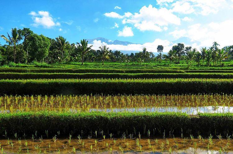 Persawahan di desa Tetebatu Lombok Timur, sumber ig @kiekjesvanilona