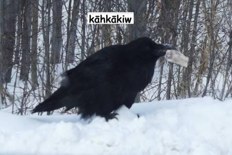 raven2-cree