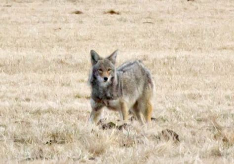 coyote - mīscacākanis