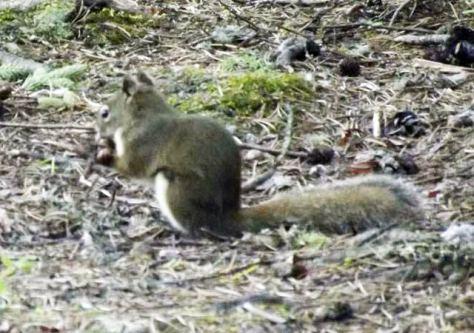 squirrel - anikwacās