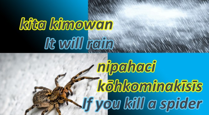kita kimowan nipahaci kōhkominakīsīs – it will rain if you kill a spider