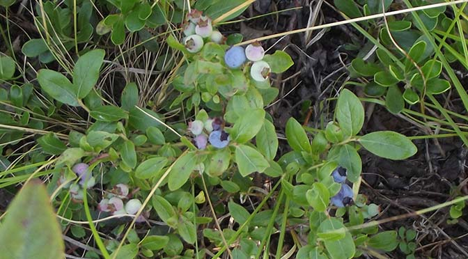 This year was not a good year for blueberries in my area