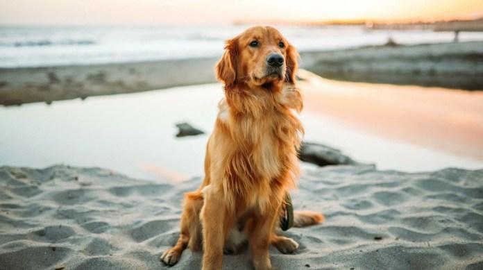 Golden Retriever kind temperament pet - easy to train dog breeds