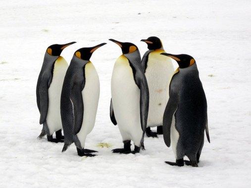 15793396170_33075c830b_b_penguins