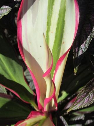 pink edge 2