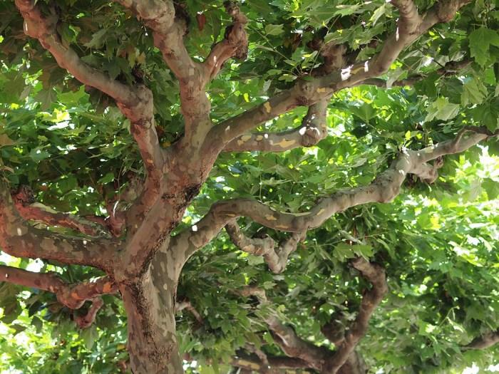 sycamore tree photo
