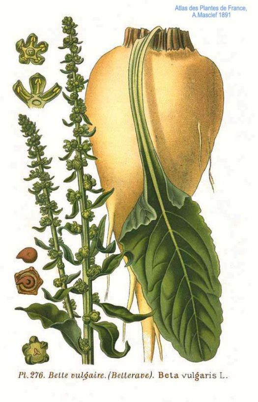 Sugar Beets and seeds